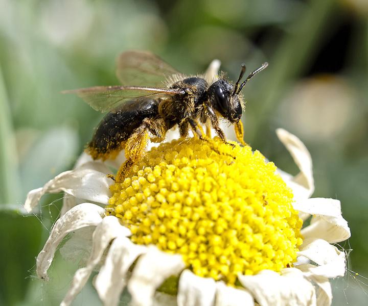 昆虫蜂,动物,自然,蜜蜂,蜂蜜,绽放,开花恐龙危机2免费下载图片